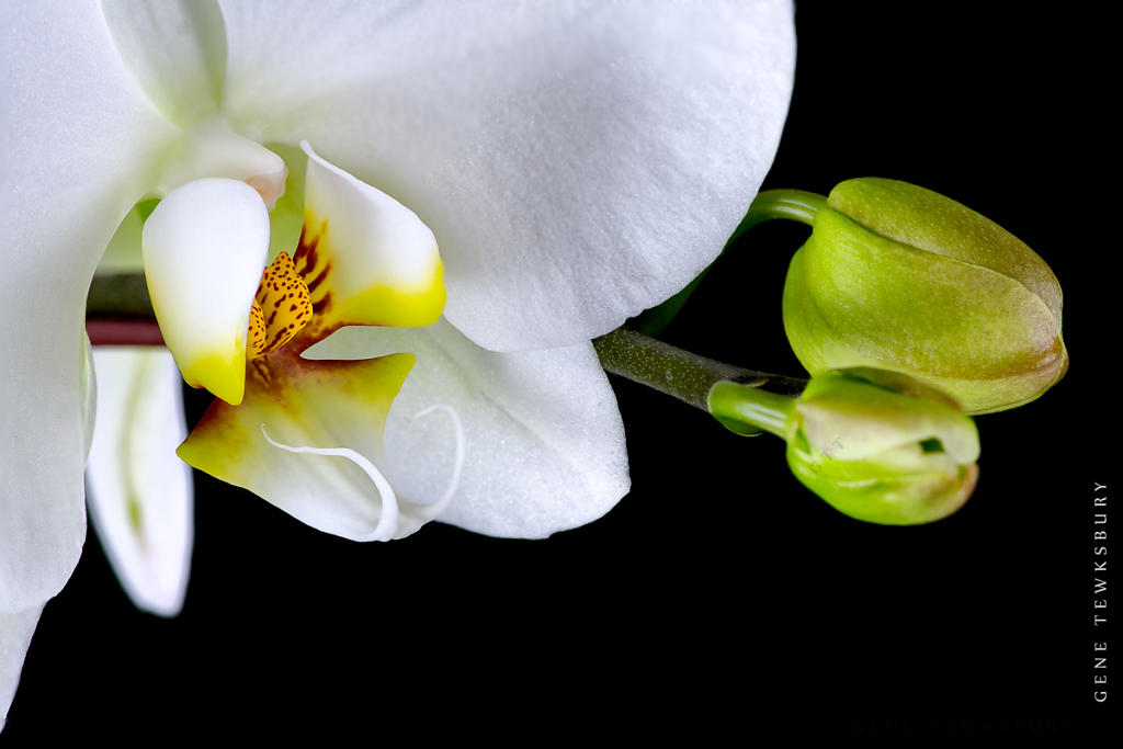 Orchid on Black