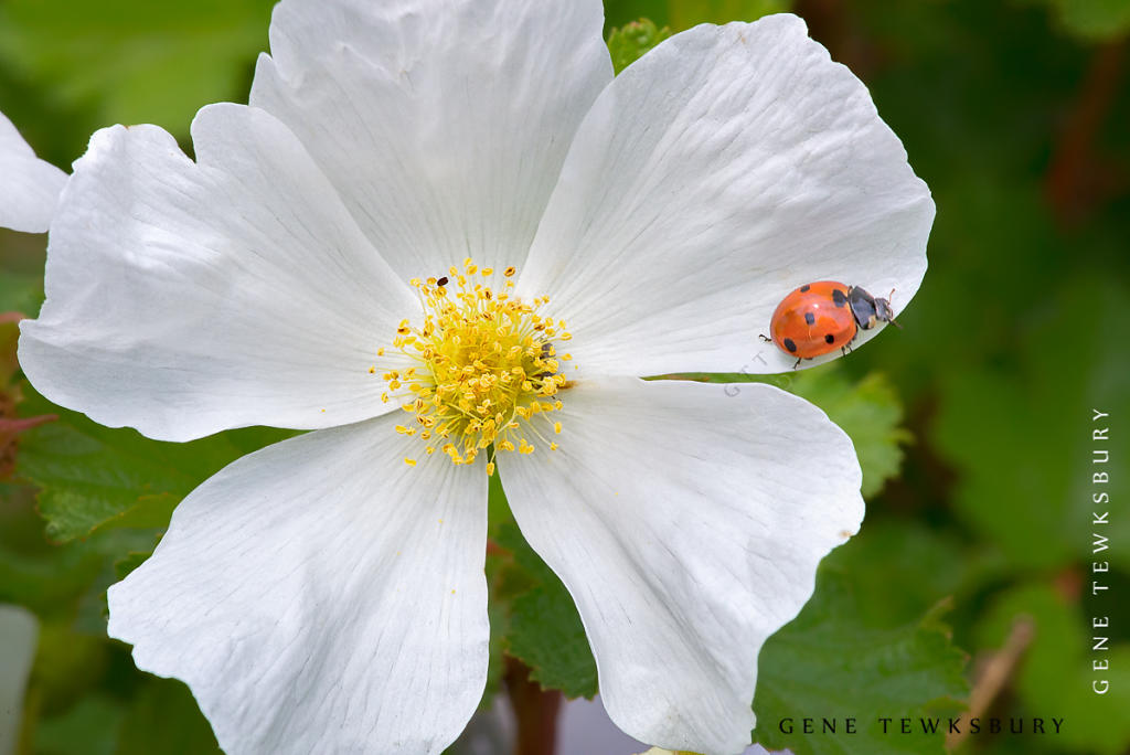 White Flower and LadyBug