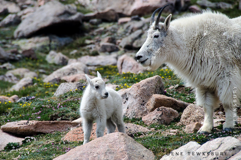 Mama and Kid Mountain Goats