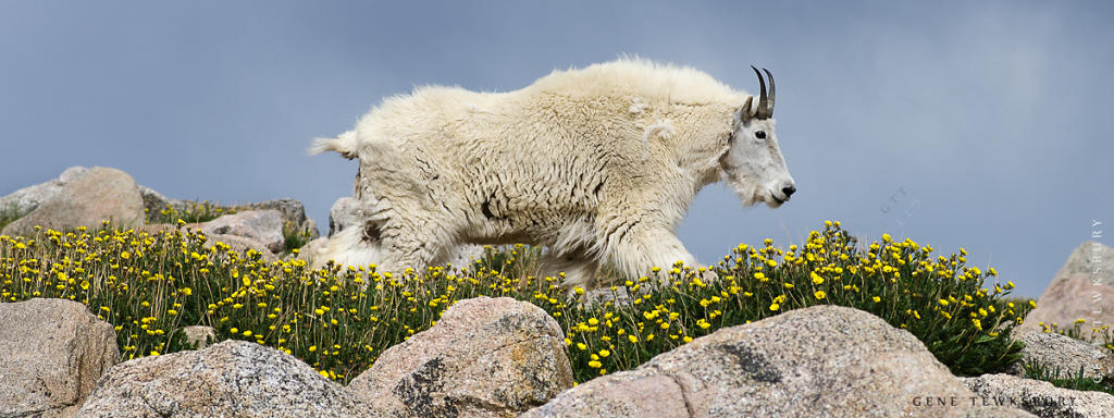 Mountain Goat in Flowers