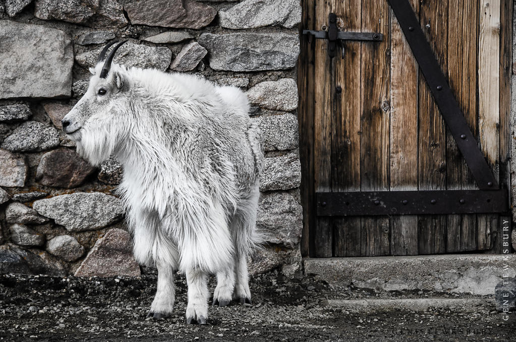 Mountain Goat and Door