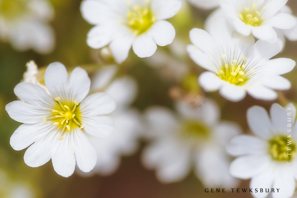 White Flowers in the Rockies.