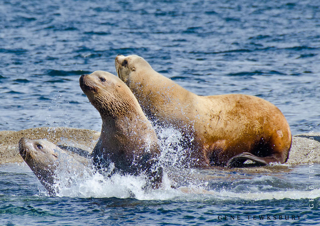 Sea Lions on the Move
